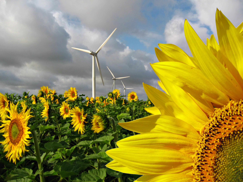 Windrad im Sonnenblumenfeld